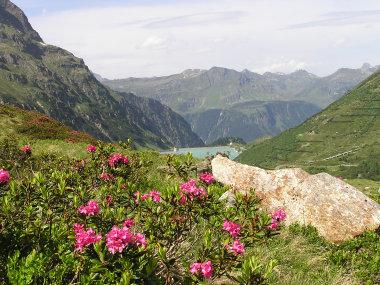 Alpenrosen, Vermuntstausee und Verwall.