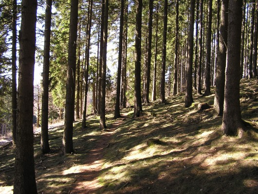 Weiter ging es nun wieder einige 100 Meter durch den lichten Fichtenwald....